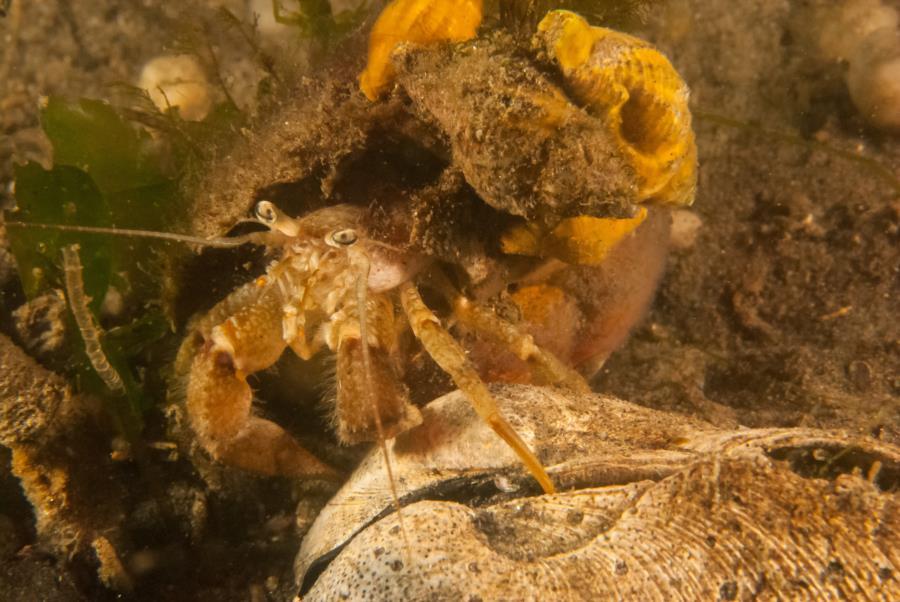 Maclearie Park, Shark River - Hermit Crab