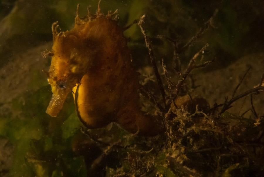 Maclearie Park, Shark River - Lined Seahorse