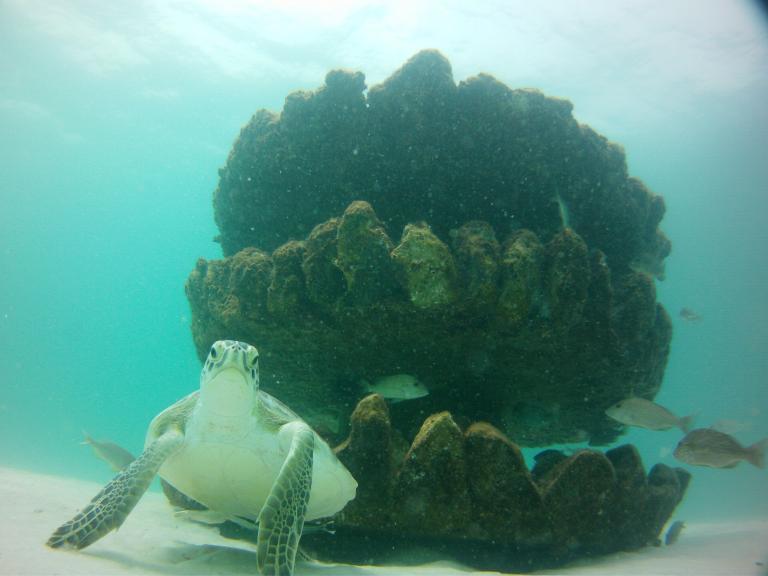 Perdido Key Snorkel Reef - Turtle