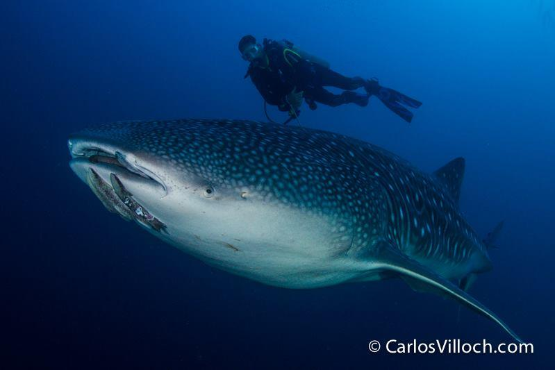 Cocos Island - Swimming with a Whale Shark