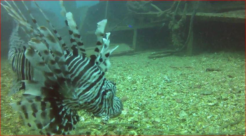 Mount Lavinia - Lion fish