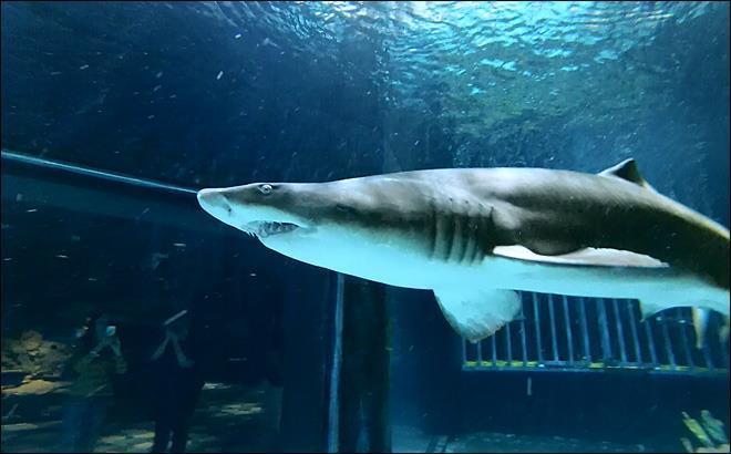 Point Defiance Zoo & Aquarium - Sand Tiger Shark at Point Defiance Aquarium