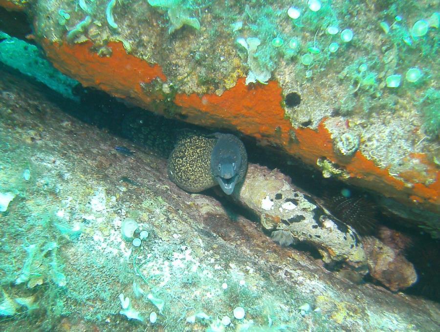 La Maddalena Archipelago - Moray eel