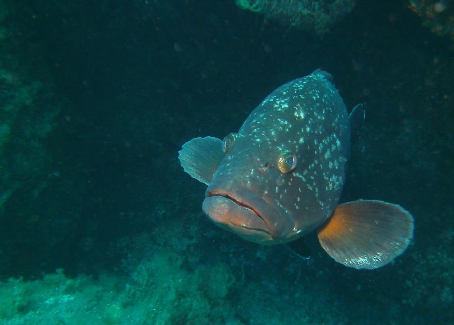 La Maddalena Archipelago - Grouper
