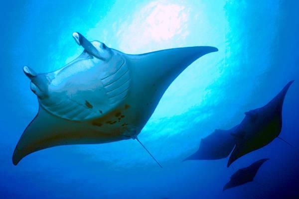 Devilfish City - Manta Rays at Devilfish City Palau