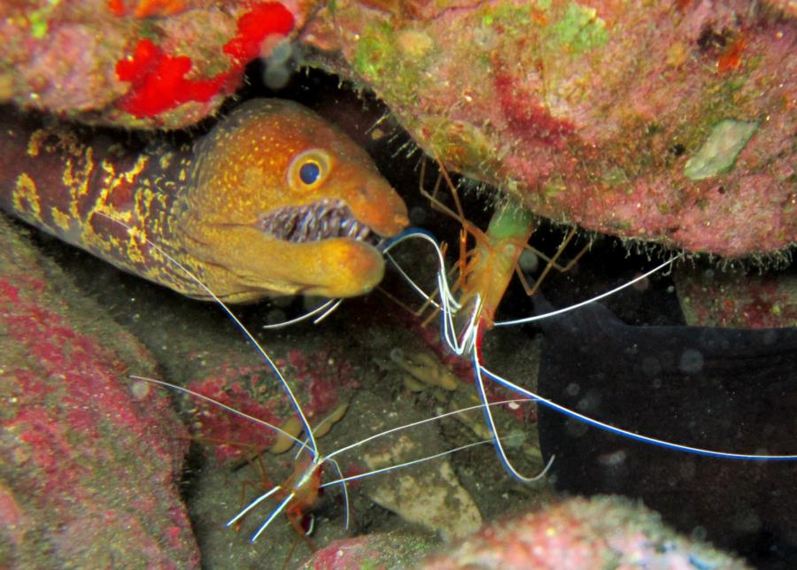 Poco Naufragio - Red Backed Cleaner Shrimp and Fangtooth Moray Eel