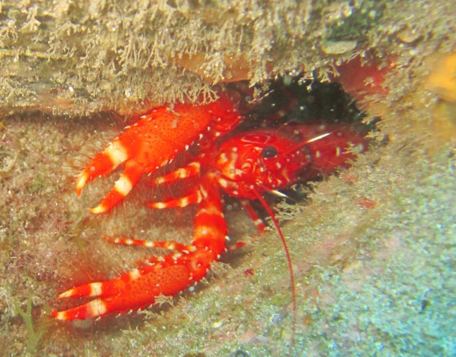 Montaña Amarilla Swim Through - Red Reef Lobster
