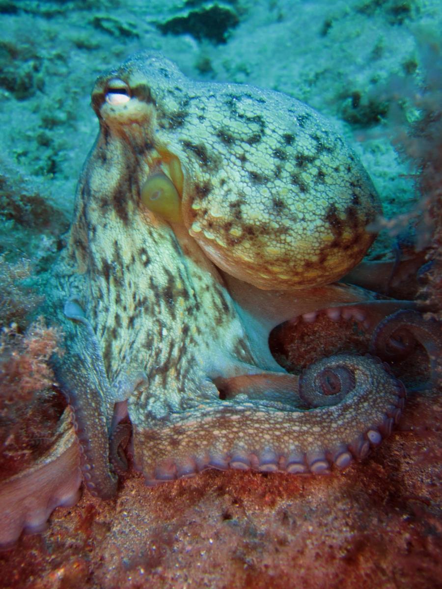 Montaña Amarilla Swim Through - Common Octopus