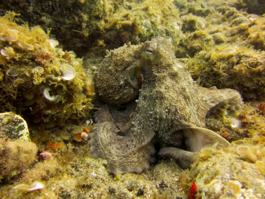 Las Eras - Common Octopus at Las Eras