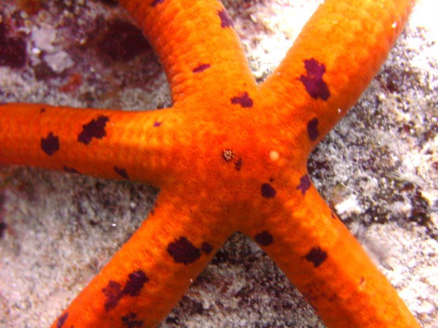 Las Eras - Spotted Starfish at Las Eras