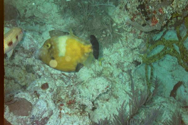 Pacific Reef/ Pacific Reef Light, Buoy 1 - White Spotted Filefish