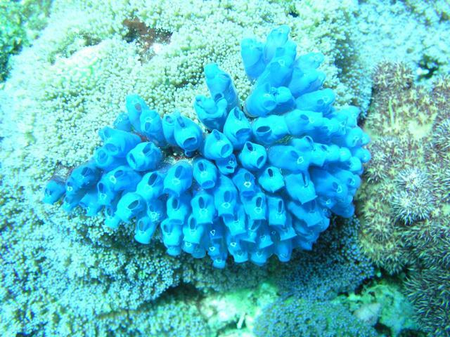 Matag - Bluebell tunicates, Matag, Fiji