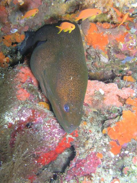 Whole Shebang - Moray at Whole Shebang, Fiji