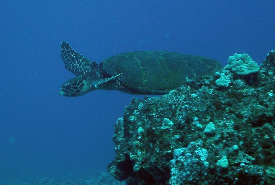Black Pebble Beach - Sea turtles!
