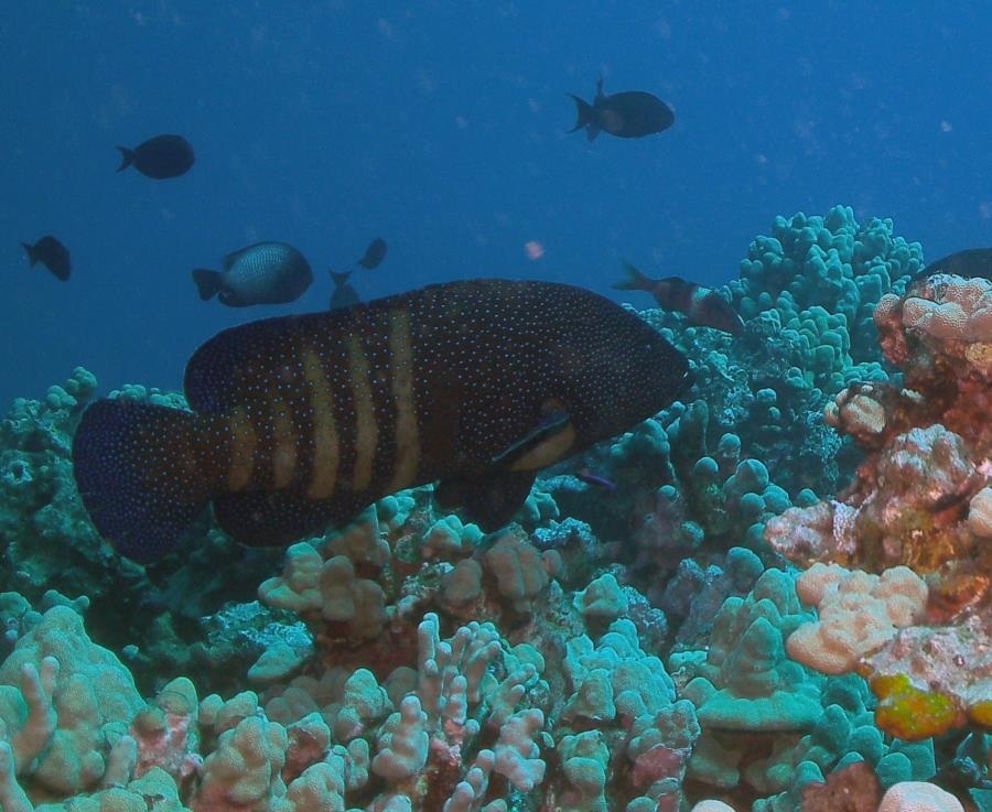 Crystal Cove Reef - Groupers!