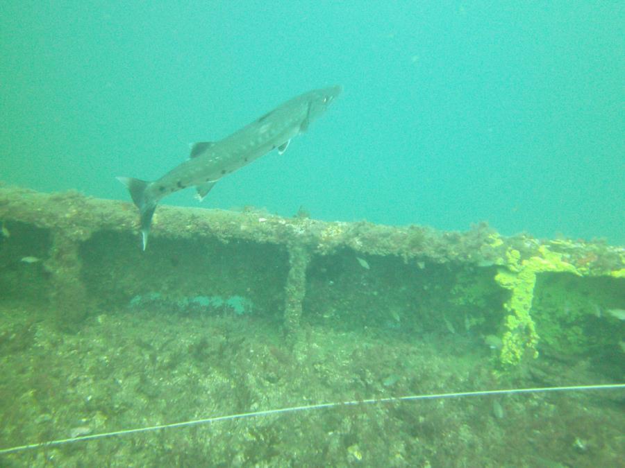 Charleston Tug Wreck - Barracuda