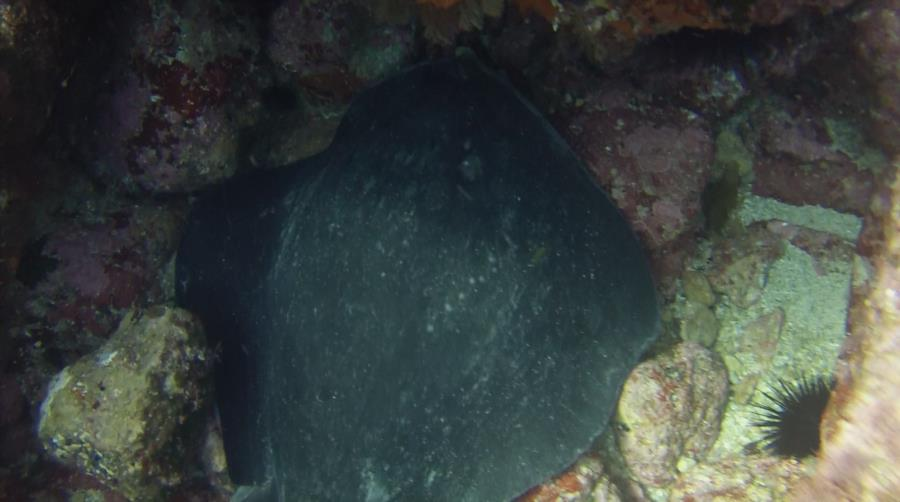 Poor Knights Islands - Stingray