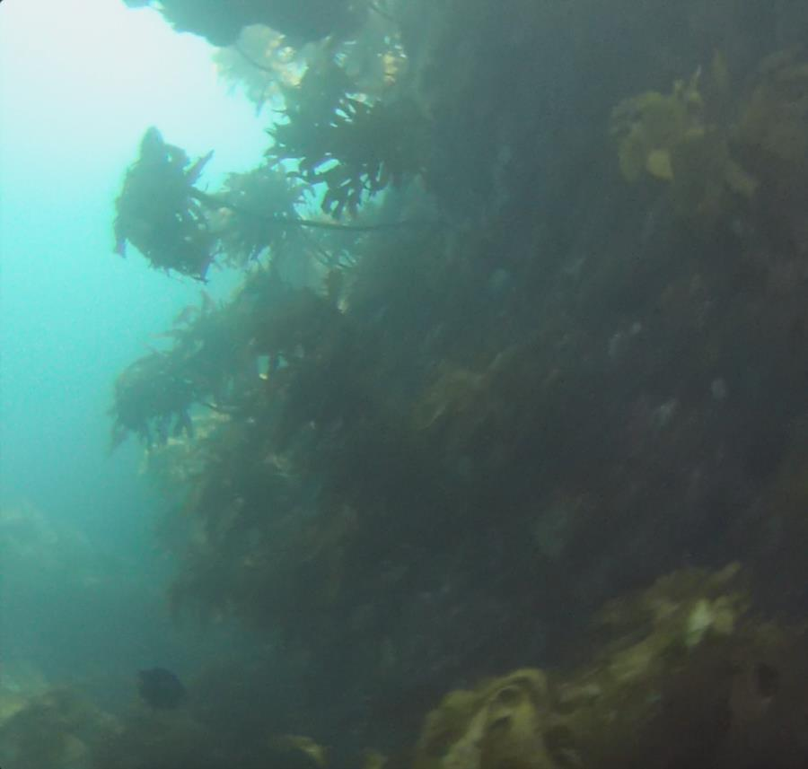 Poor Knights Islands - Kelp