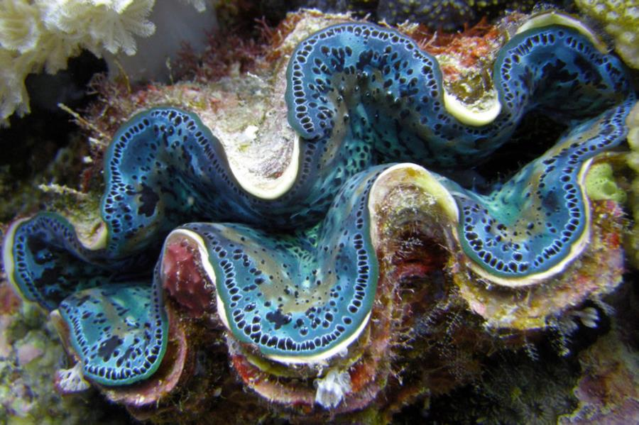 Cairns, QLD, Australia - The Giant Clams around Cairns