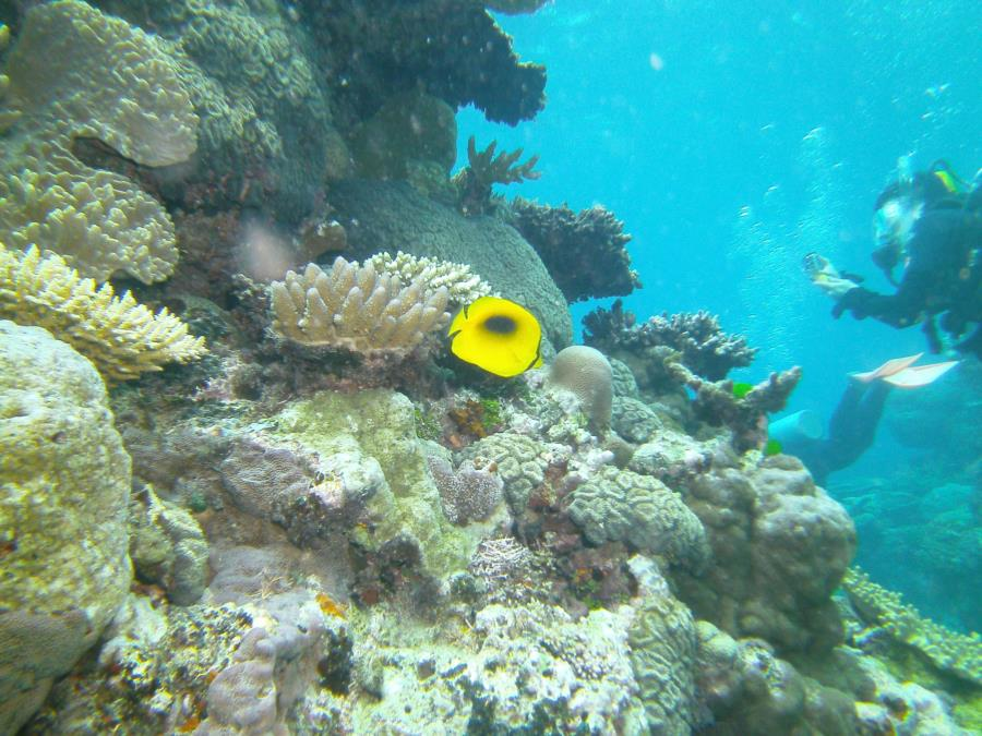 Great Barrier Reef- Cairns AUS - butterfly fish
