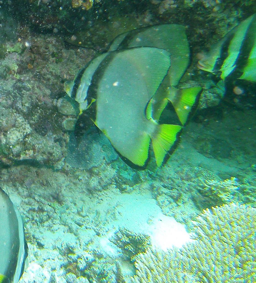 Great Barrier Reef- Port Douglas AUS - BAT Fish