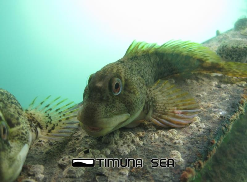 Swanage Pier - Common Blenny