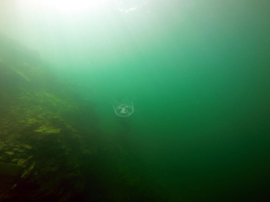 Juturna Springs - Fresh water Jellyfish