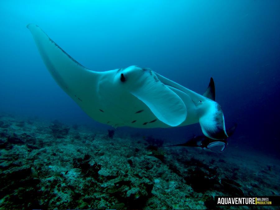 Addu Manta Point - Addu Manta Point - Aquaventure Maldives