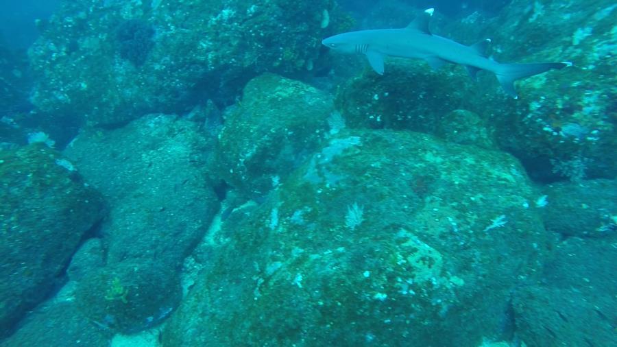 Contreras Pinnacle 1 - white tip shark