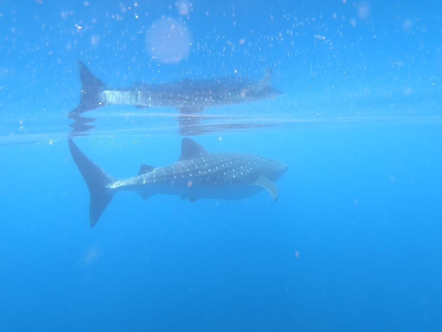 Contreras Pinnacle 1 - whale shark