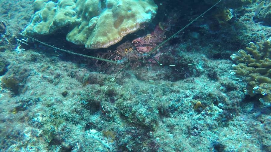 Coral Garden - lobster