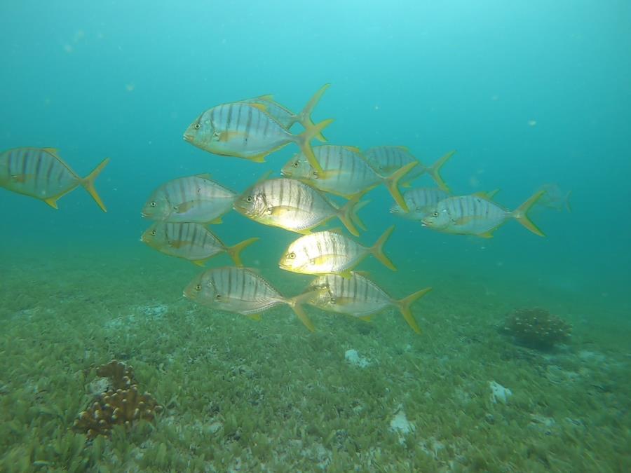Green Field Dive - Juvenile Golden Jack