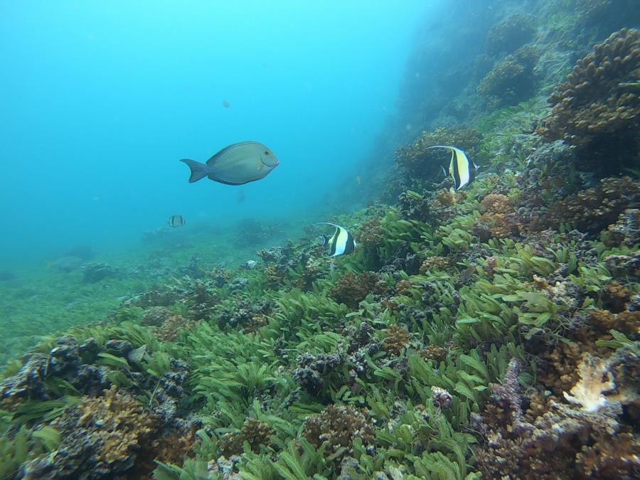 Green Field Dive - Morish Idol