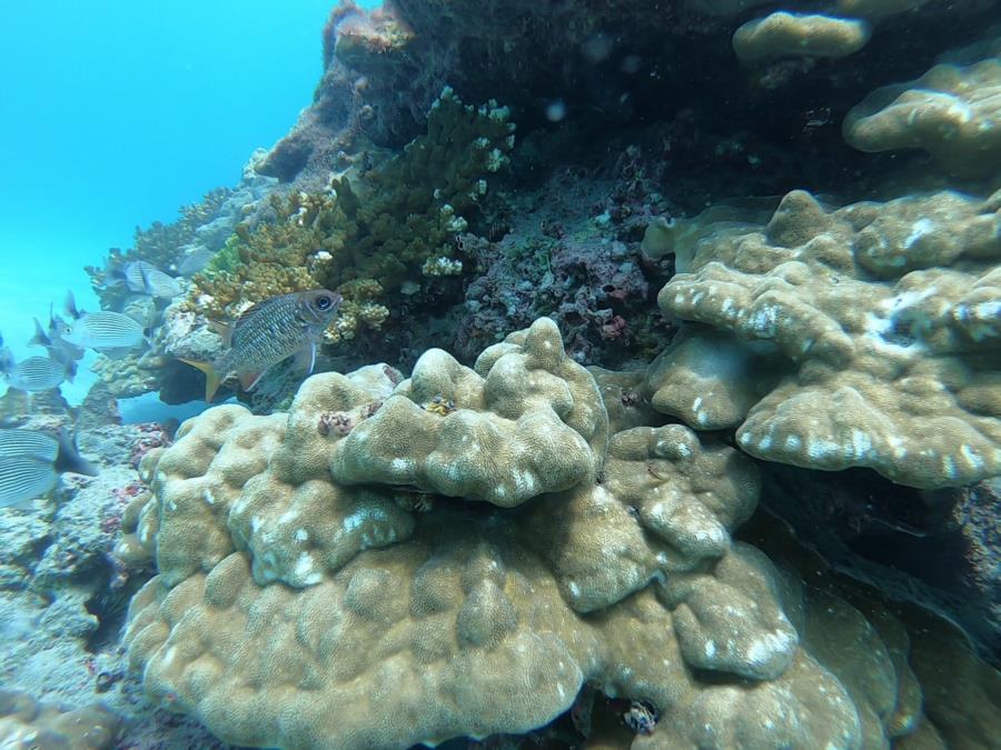 El Flor Dive - Brain Coral