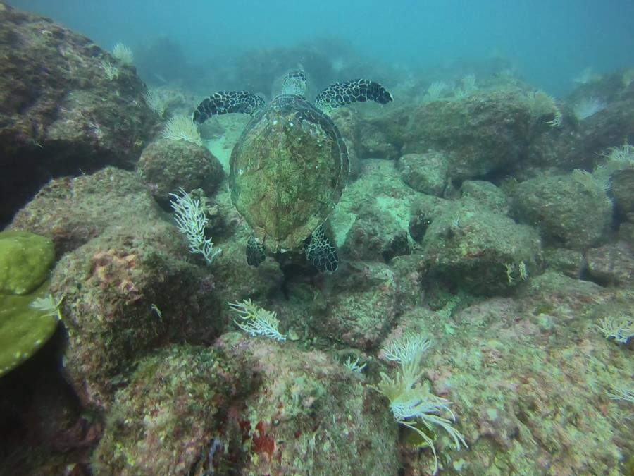 El Flor Dive - sea turtle