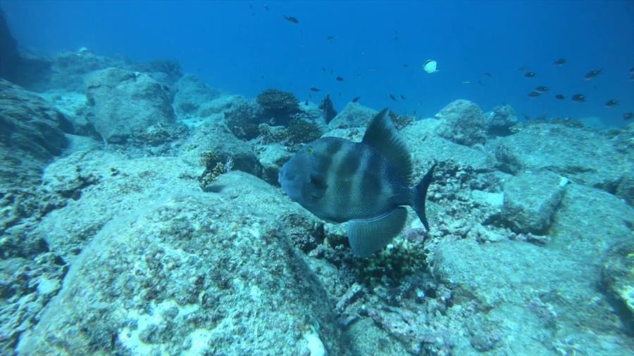 Frigatte Island Dive - triggerfish