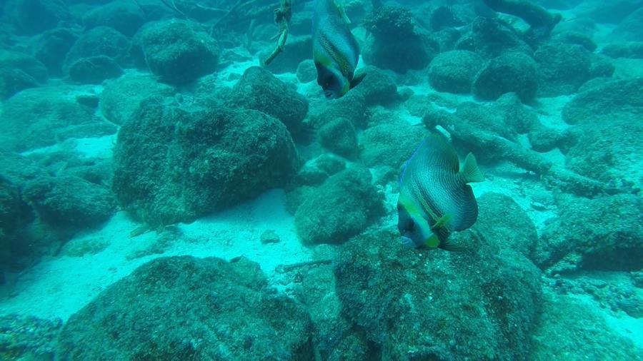 Frigatte Island Dive - Cortez Angelfish