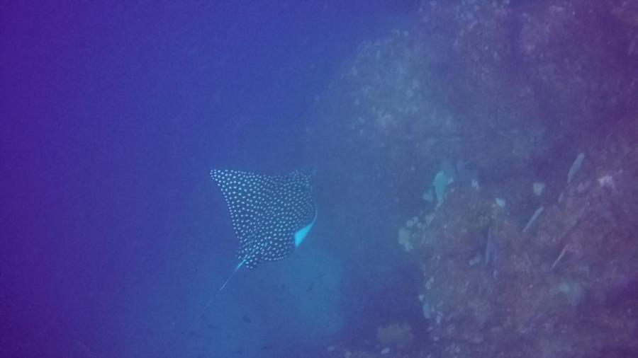 Corner Point Ladrones - spotted eagle ray