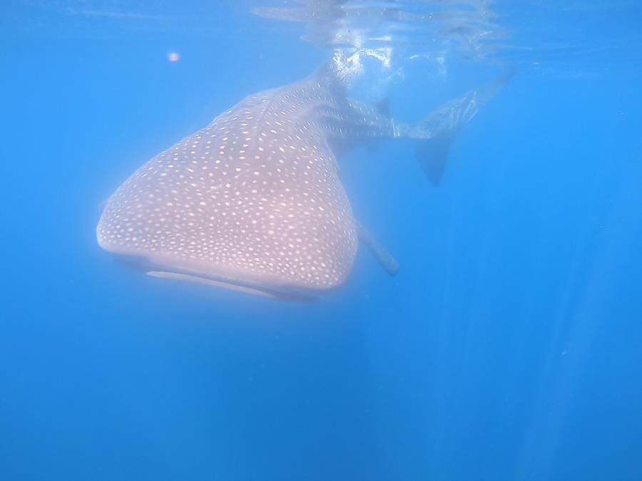 Middle Point Ladrones - whale shark
