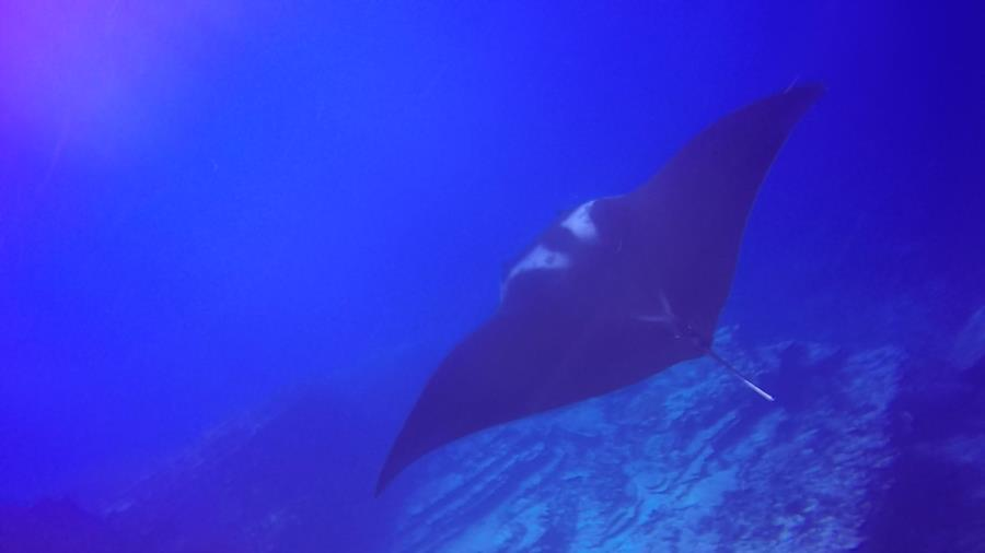 Pancake Rocks Ladrones - Manta ray