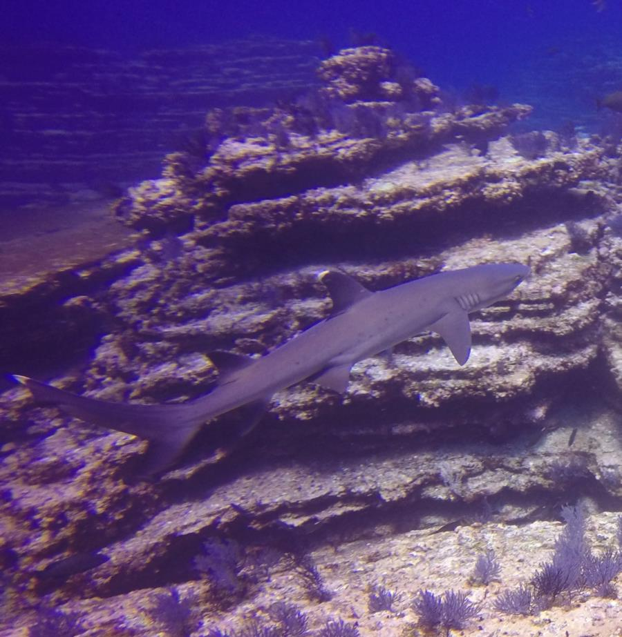 Pancake Rocks Ladrones - white tip shark