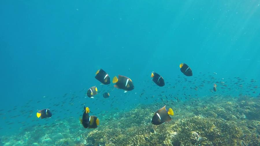 Labyrinth Point, Montuosa Dive Spot - King Angelfish