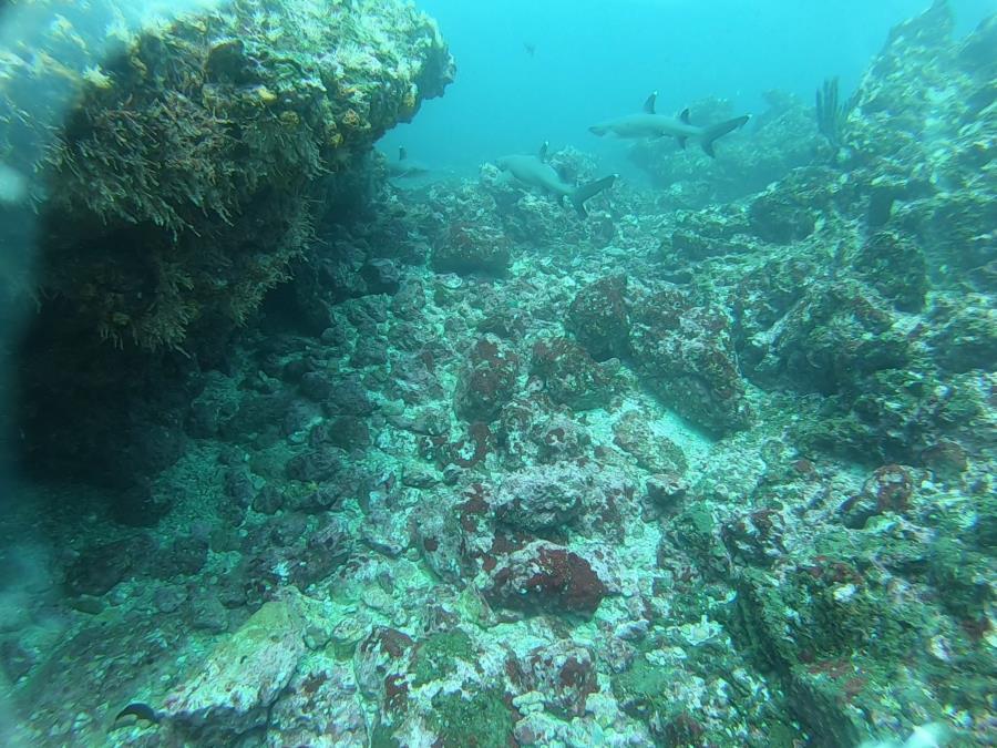Shark Point Dive - white tip x2