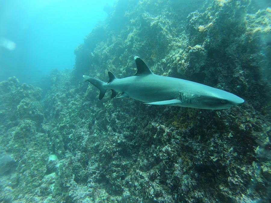 Shark Point Dive - white tip big