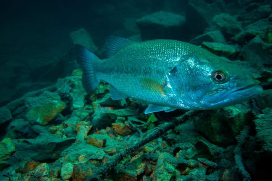 Crystal Lake - Fish