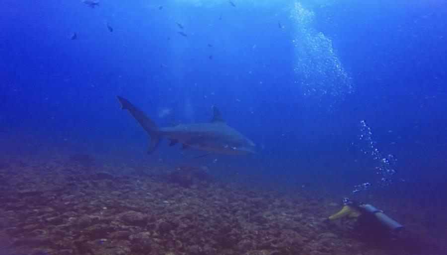 Bat Islands: Big Scare - Making bubbles with bull sharks