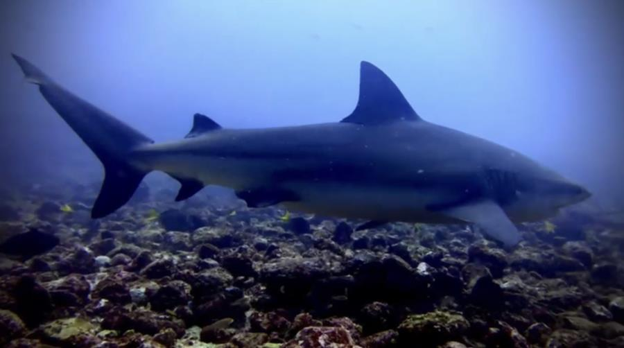 Bat Islands: Big Scare - Making more bubbles with bull sharks