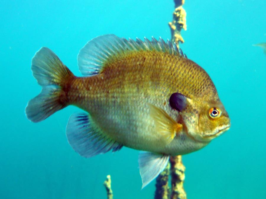 Gilboa Quarry - Pumpkinseed Sunfish