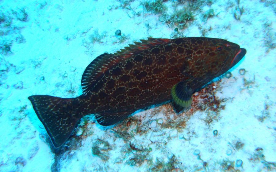 Cozumel - Grouper