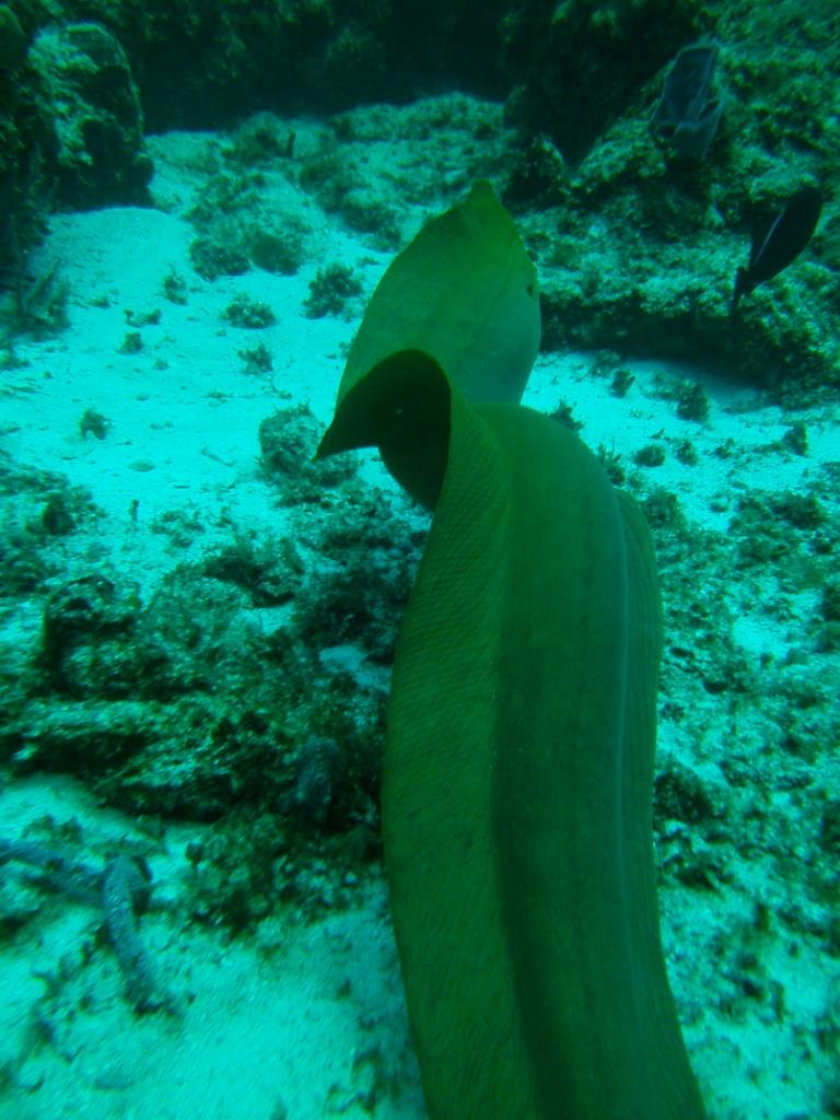 Cozumel - Green Moray Free swimming, 8 ftt.